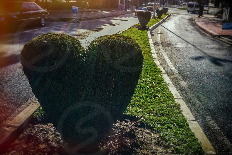 A series of shrubs sculpted into heart shapes. photo