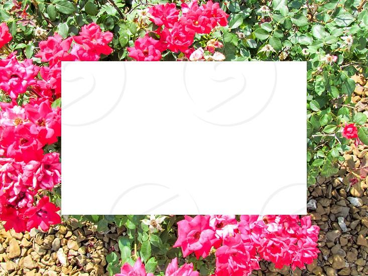 Roses frame flower bush thorns border picture frame edge edging  photo