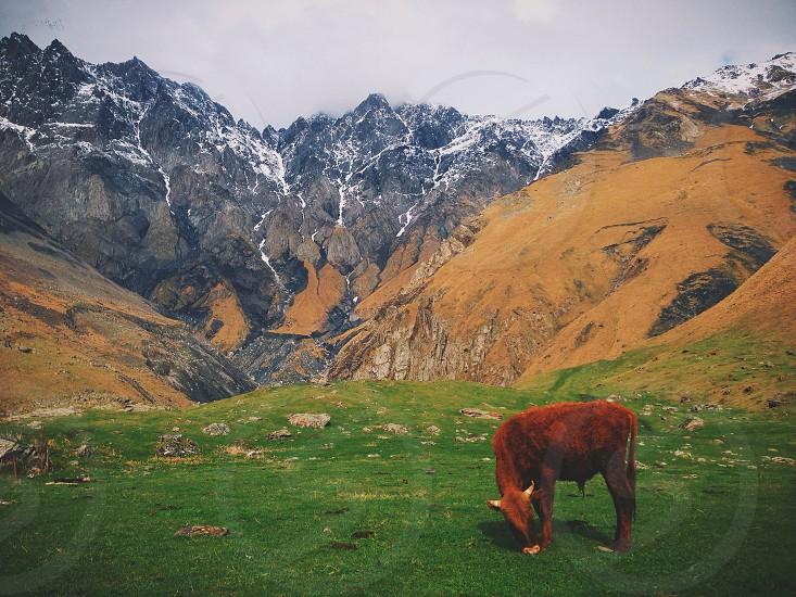 Grazing cow in the mountains of Kazbegi Georgia photo