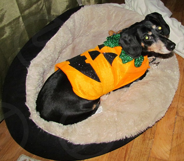 Black and Tan weenie dog in his pumpkin Halloween costume. Doggie puppy pup canine photo