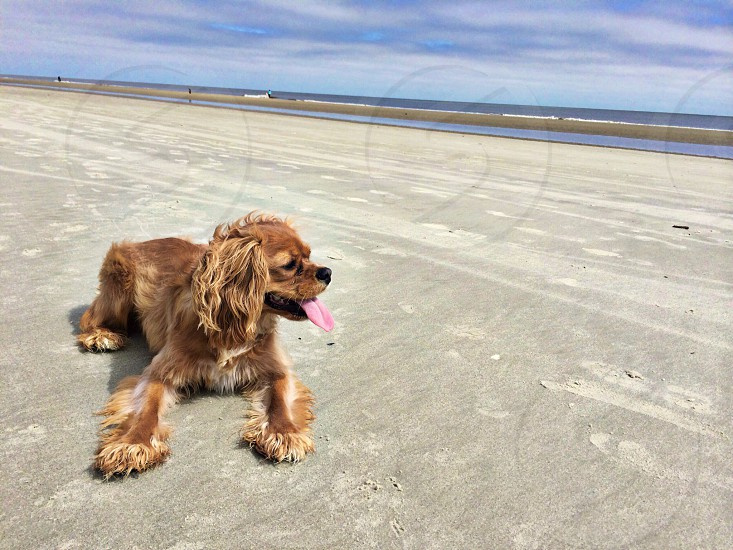 brown American cocker spaniel puppy laying down on gray sand beside beach under blue sky and white clouds photo