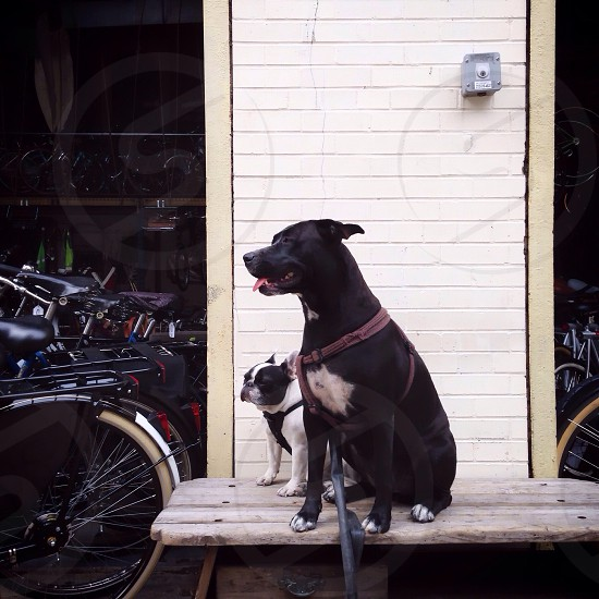 black and white pit bull sitting next to black and white boston terrier on porch photo