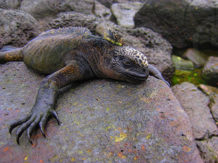 Marine  iguanas reptiles lizards galapagos islands ecuador rocks photo