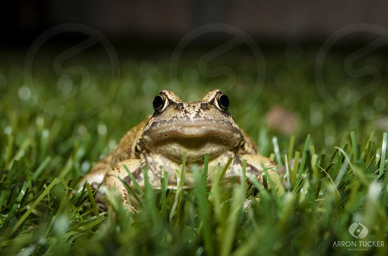 brown frog on green grass photo