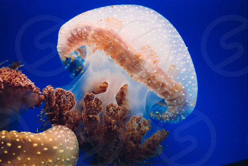 Jellyfish blue ocean aquarium underwater  photo
