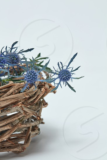 Small blue flowers eryngium in a basket on a gray background. Easter. Postcard with copy space photo