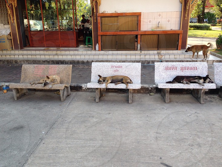 Wild dogs kicking back in Thailand  photo