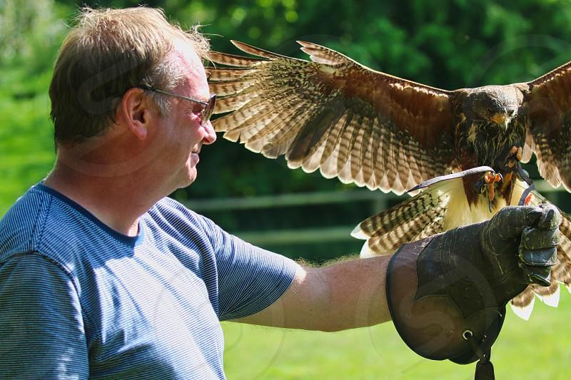 Flying a Harris Hawk photo