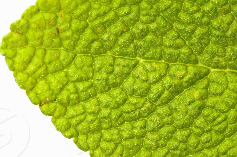 sage leaf photo