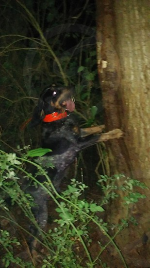 # bluetick hound # coon hunter photo