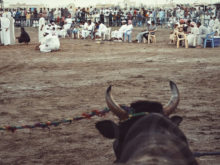 Tradition bull bulls bull butting sport tradition culture middle east united arab emirates fujairah arab arabic  photo