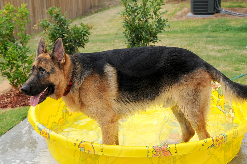 German Shepherd Dog getting a bath photo