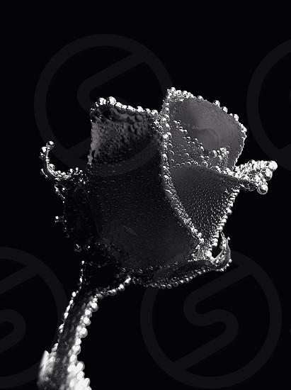 Bubble encapsulated Rose photo