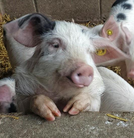 white and black pig photo photo
