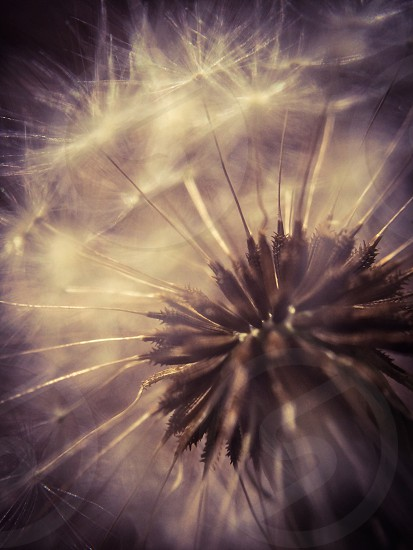 dandelion flower at night  photo