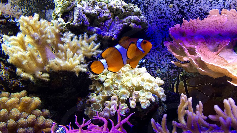 close up photo of clown fish surrounded by white purple and black corrals photo