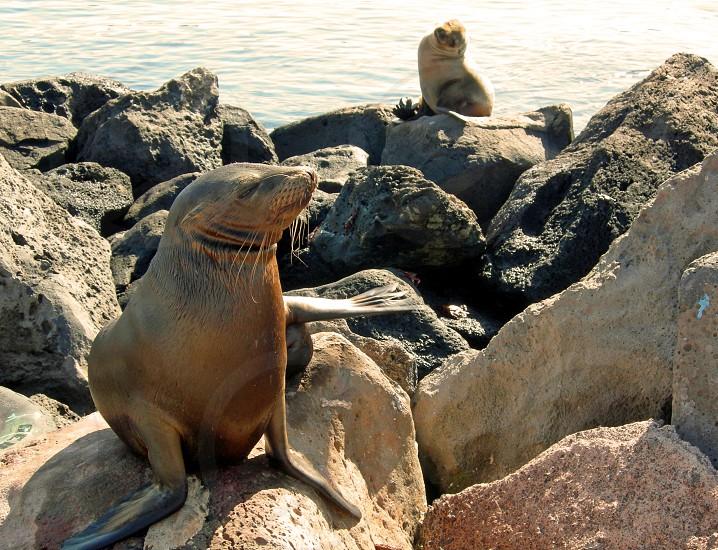 Sea Lions soaking up some sun in their natural habitat The Galapagos Islands.  San Cristobal Ecuador photo