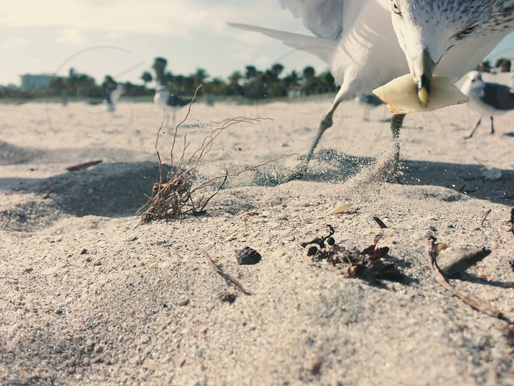 Seagull Miami Key Biscayne Florida bird food sand beach photo