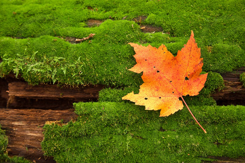 a good pair fall leave orange maple tree log moisture forest landscape texture yellow minted green moss photo