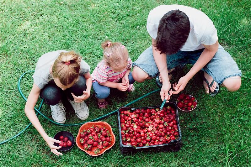 Siblings washing strawberries freshly picked in a garden photo