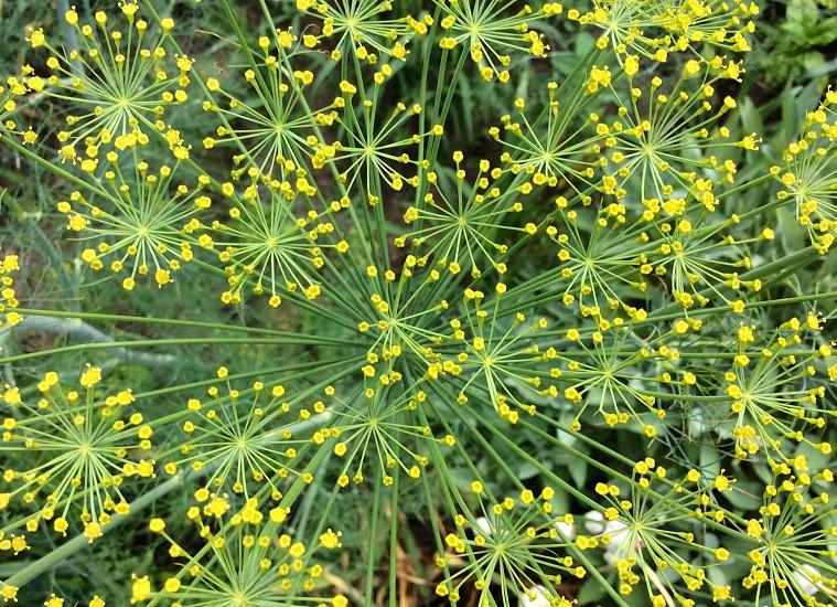 Dill flower in garden photo