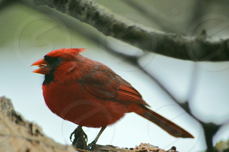 red cardinal bird against grey branch in shallow photography photo