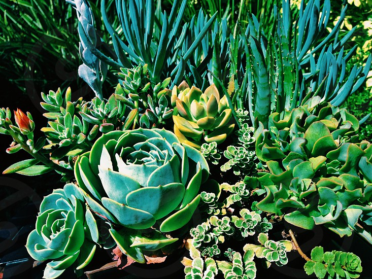 Green Succulents Plants Outdoors Nature Garden Shades of Green photo