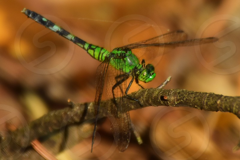 Green Dragonfly perching on stick photo