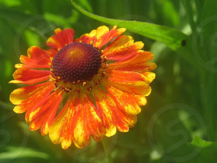 Helenium flower nature garden  photo