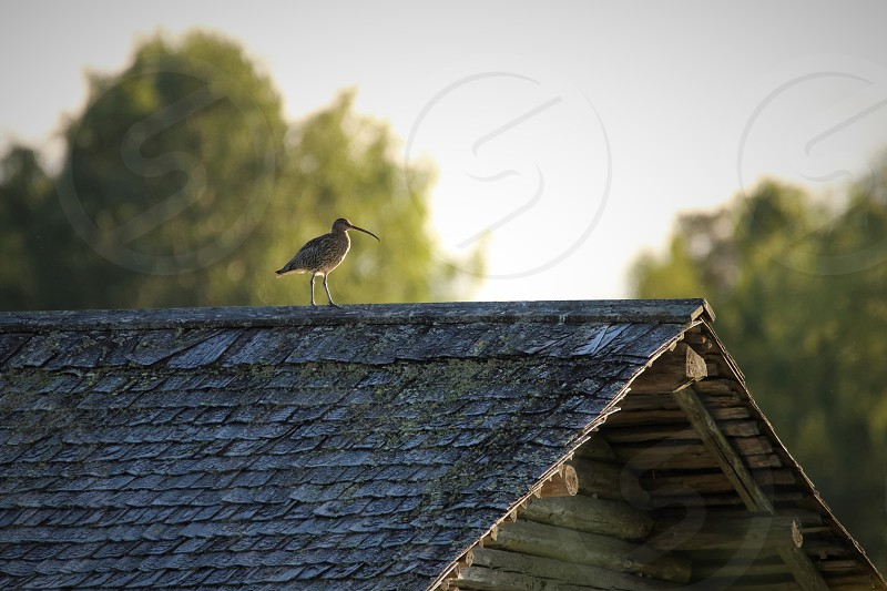 Eurasian Curlew top os the old barn Finland photo