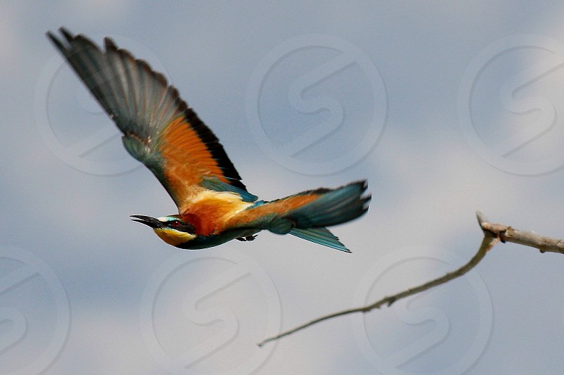 bee-eater Merops apiaster bee-eater flying colorful bird photo