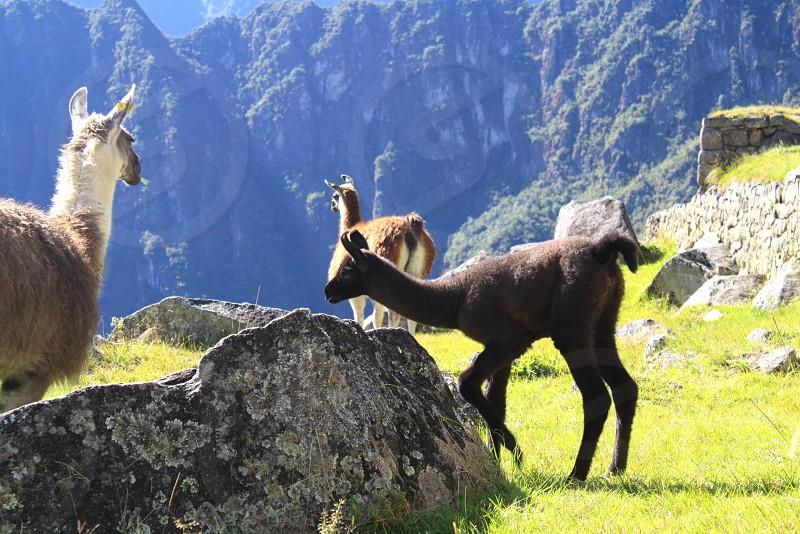 Alpaca llama peru Machu Picchu  photo