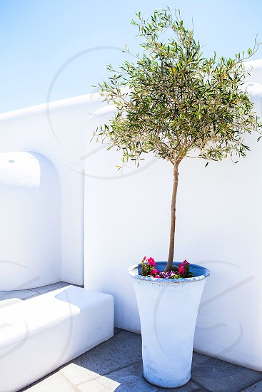Olive tree summer olive greece photo