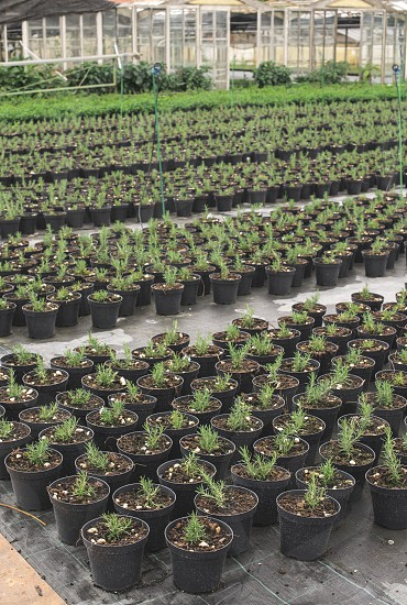 Spice rosemary in a pot in a nursery garden photo