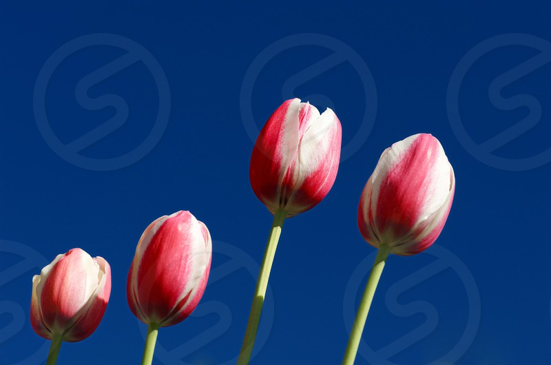 Tulips against a blue sky photo