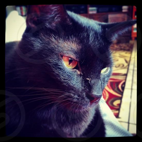 cat kitten kitty pet black eyes feline whiskers photo