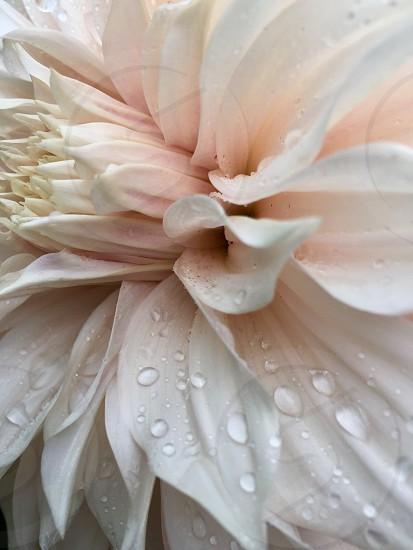 Pinkawarenessmacroflowerbeautifuldelicate photo