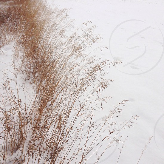 brown tall grass and snow field photo