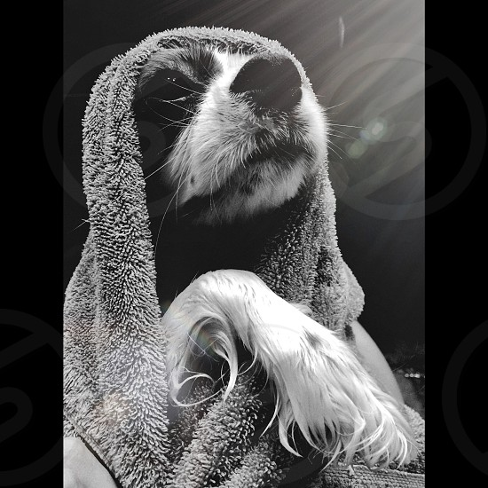 dog in bath towel photo