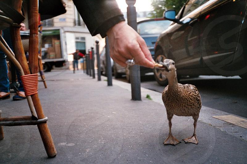 brown duck  photo