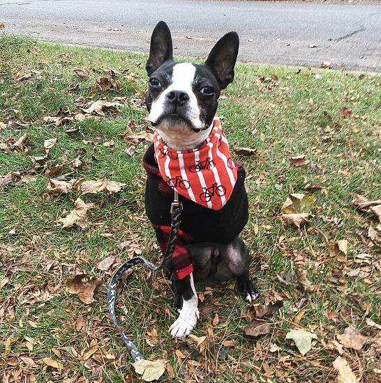 Dog dogs Boston terrier Boston terriers tripawd tripawds dogs in jackets dog jacket dog bandana photo