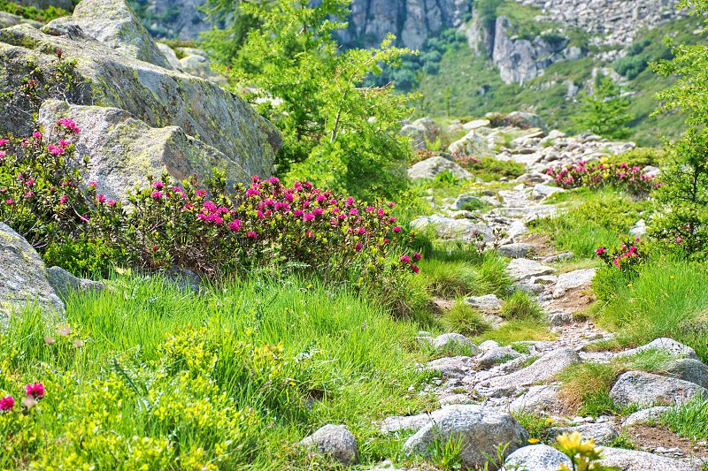 Blooming rhododendron along the path in Brenta Dolomites Italy photo