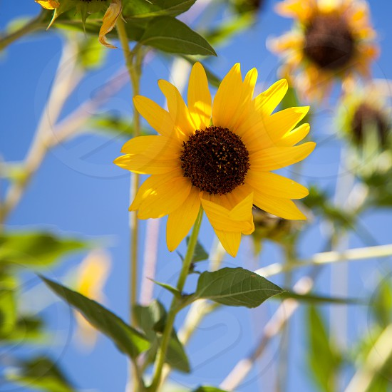 California Sunflower photo