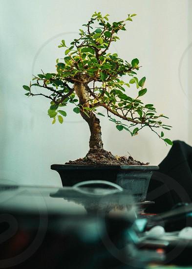 Small bonsay on my desk photo