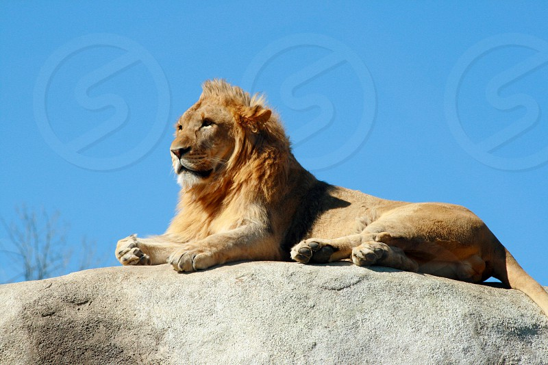 Young male lion sitting atop a rock and watching over his domain. photo