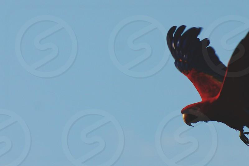 Macaw flight bird parrot red sky blue photo
