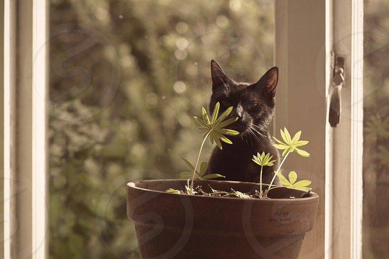 A black kitten is smelling with its nose touching the young leaf of Lupinus in a ceramic pot and thinking going organic by the window in the living room. photo