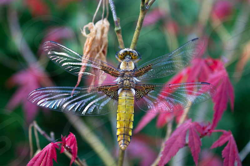 A dragonfly in our garden photo