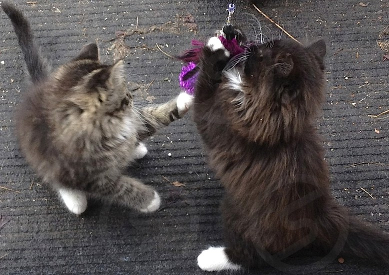 two kittens playing photo