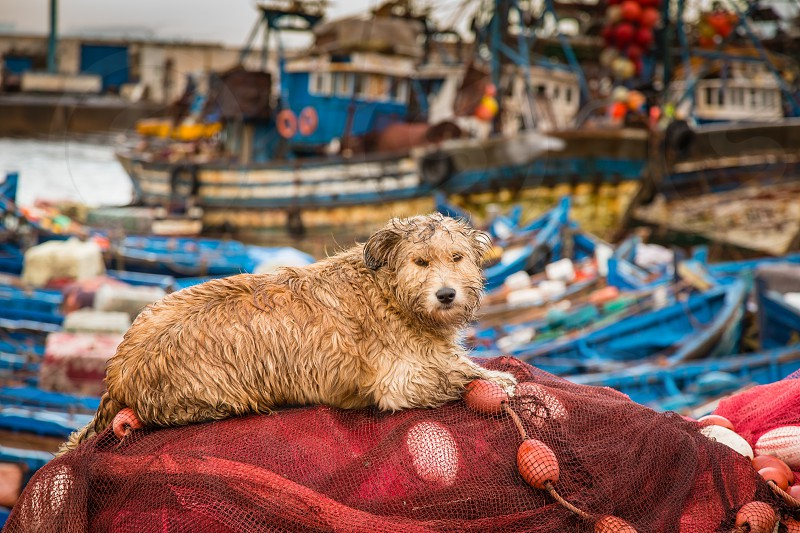 Fisherman dog drying in fishing nets in the port of Essaouira. photo